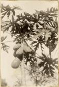 Image of Panama Canal Zone Orchid Station of the Missouri Botanical Garden.  Papaya.  Mounted with PHO 2007-0370, PHO 2007-0372, and PHO 2007-0373.  MBG Bull. 19(3):45-51 1931.