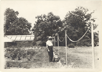 Image of Rose Garden.  J.W. Dunford.  Climber roses were trained up posts and long chains.  Vegetable House in background.  Mounted with PHO 2007-0514.