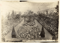Image of Spring Flower Show.  Cinerarias about 1917-1918.