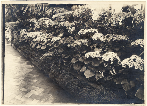 Image of Cineraria Show in 1920's.  Mounted with PHO 2007-0958.