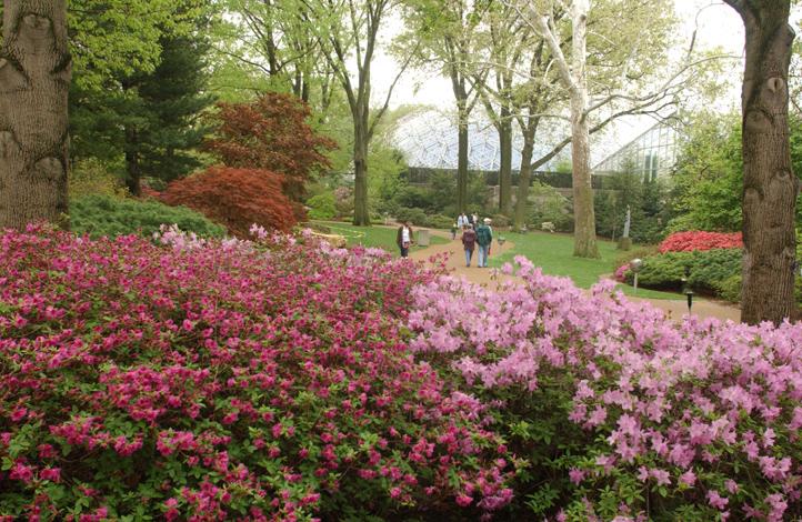 Image of Azalea Rhododendron Garden at the Missouri Botanical Garden, Climatron complex in background.