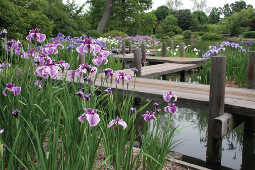 Image of Japanese Garden showing zig zag and iris.