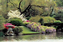 Image of Japanese Garden showing lantern and Wisteria.