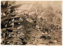Image of Water liliies in greenhouse. Location unknown.