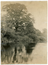 Image of Water liliies in lake. Location unknown. Possibly the North American Tract.