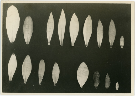Image of Photo of different water lily leaves.