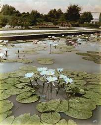 Image of Water lilies growning in main lily pools. Mrs. Edward's Whitaker Garmorata water lily. Image is hand colored and was taken by Paul Kohl in 1921.