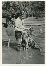 Image of Garden horticulture staff members tending to water lilies in the main lily pools.