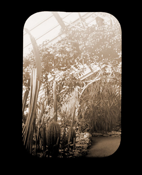 Image of Pereskia aculeata in cactus house.
