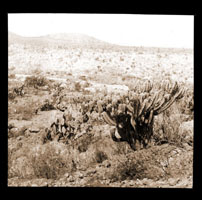Image of Desert view in Mexico.  Cereus geometrizans.  Photo taken by Hermann von Schrenk in 1906.