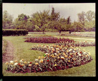 Image of Tulips plantings in bloom.  Color magic lantern slide.