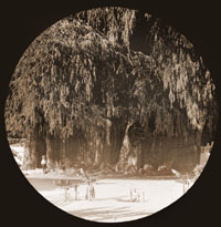 Image of Taxodium.  The great tree at Tule, Mexico.