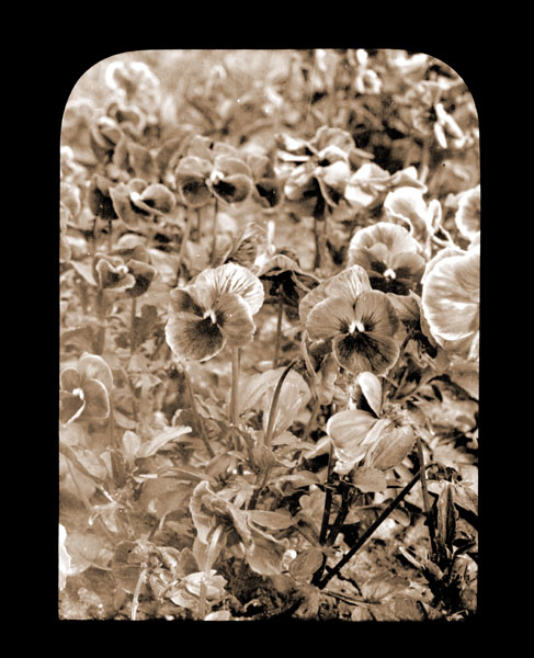 Image of Viola tricolor growing in the Missouri Botanical Garden in 1901.