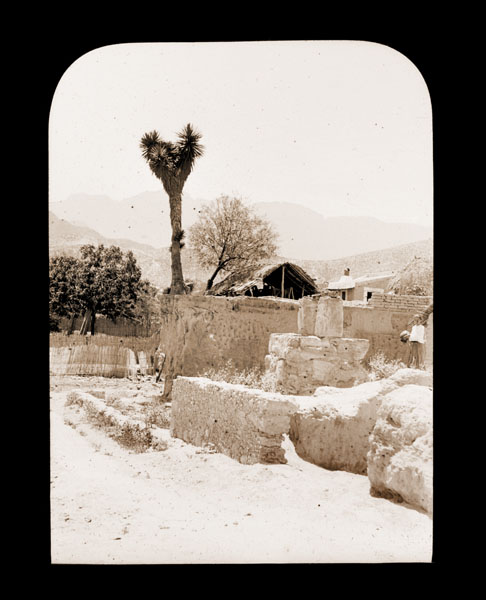 Image of Yucca filifera australis.  Growing in the city of Monterey, Mexico in 1900.