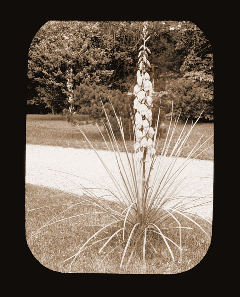 Image of Yucca glauca (angustifolia) growing in the Missouri Botanical Garden c.1900.