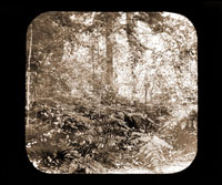 Image of 31  Forest Interiors on Indian River.  Harriman Alaska Expedition, 1899.   Harriman Alaska Expedition, 1899
