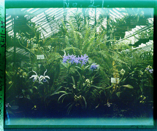 Image of Orchids in greenhouse.  Taken from a color magic lantern slide.
