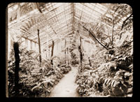 Image of Tropical ferns in greenhouse with Brazilian tree ferns and giant Angiopteris to the left.