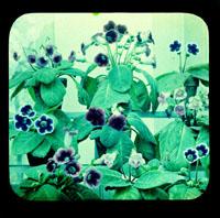 Image of Gloxinia.  Color magic lantern slide.