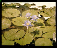 Image of Nymphaea in bloom.  Color magic lantern slide.