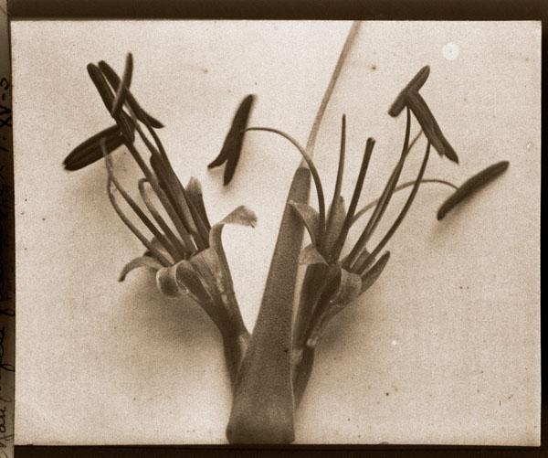 Image of Agave filifera filimentosa.  Color magic lantern slide.