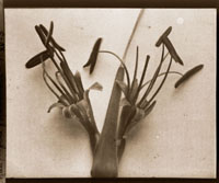 Image of Agave filifera filimentosa.  Color magic lantern slide.