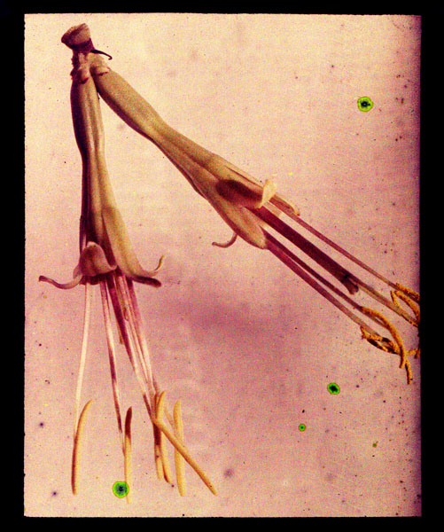 Image of Agave vestita.  Color magic lantern slide.