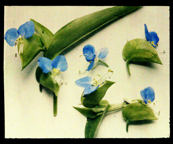 Image of Commelina.  Color magic lantern slide.