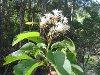 Paracorynanthe antankarana Capuron ex J.-F. Leroy (Living plant)