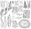 Fissidens schusteri Z. Iwats. & P.C. Wu (Figs. 1–22.)