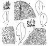 Rhizomnium punctatum (Hedw.) T.J. Kop. (Figs. 5–9.)
