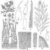 Hondaella caperata (Mitt.) B.C. Tan & Z. Iwats. (Figs. 1–12.)