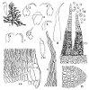Hypnum oldhamii (Mitt.) A. Jaeger (Figs. 1–15.)