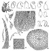 Hypnum recurvatum (Lindb. & Arnell) Kindb. (Figs. 1–20.)