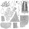 Pseudotaxiphyllum densum (Cardot) Z. Iwats. (Figs. 1–15.)