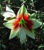 Hippeastrum leopoldii (T. Moore) Dombrain (Flower)