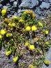 Senecio L. (Flowers)