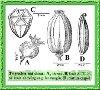 Triglochin maritima L. (Photo)