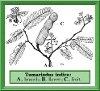 Tamarindus indica L. (Photo)