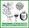 Punica granatum L. (Illustration)