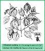 Viburnum mullaha Buch.-Ham. ex D. Don (Illustration)