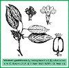 Viburnum grandiflorum Wall. ex DC. (Illustration)