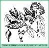 Viburnum cylindricum Buch.-Ham. ex D. Don (Illustration)