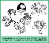 Cordia dichotoma G. Forst. (Illustration)