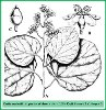 Cordia macleodii Hook. f. & Thomson (Illustration)