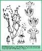 Heliotropium cabulicum Bunge (Illustration)