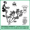 Heliotropium biannulatum Bunge (Illustration)