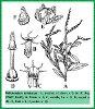 Heliotropium subulatum Hochst. ex DC. (Illustration)