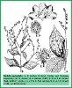 Hackelia macrophylla I.M. Johnst. (Illustration)
