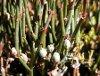 Ephedra americana Humb. & Bonpl. ex Willd. (Inflorescence)